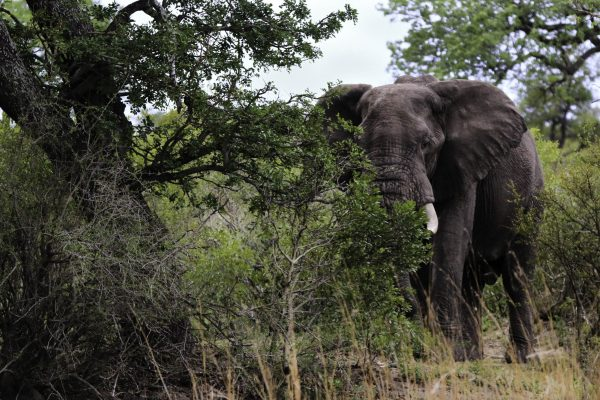 Elephant close to Pretoriuskop, KNP