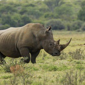 Rhino Botswana