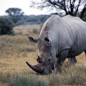 White Rhino Botswana