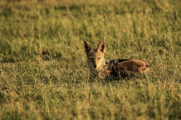 Black backed Jackal early morning