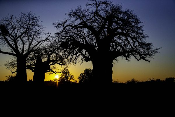 Baobab sunrise Pafuri, Kruger north