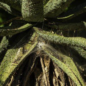 Aloe with a spider web, Marloth Park