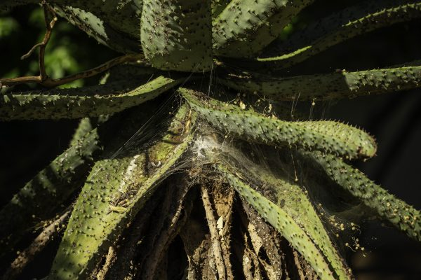 Aloe with a spider web, Marloth Park