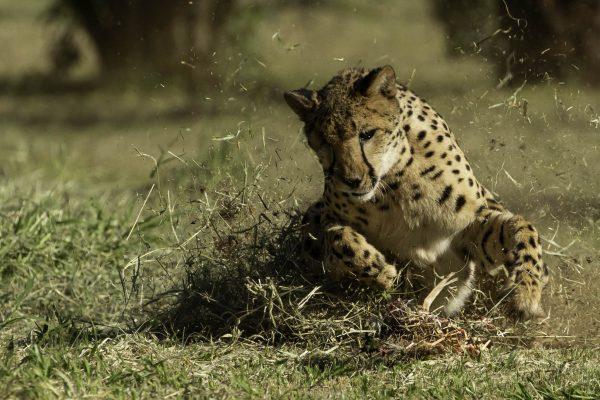 Cheetah Phantom