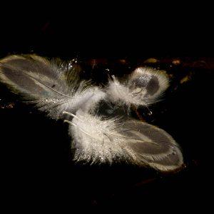 Feathers Austen Roberts