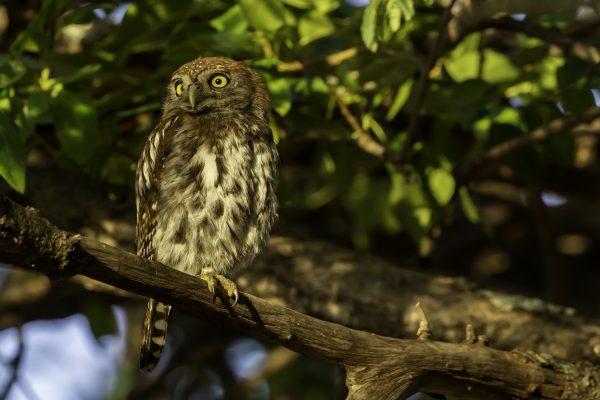 Owl in Shingwedzi