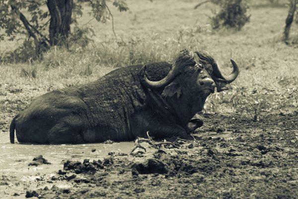 Daga bull in a mud pond