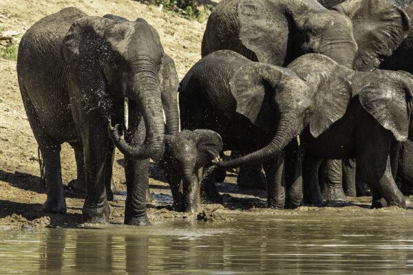 Watering Elephants