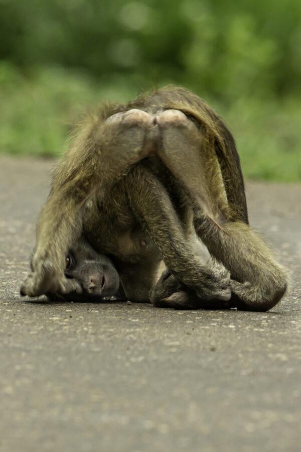 Playful Baboon