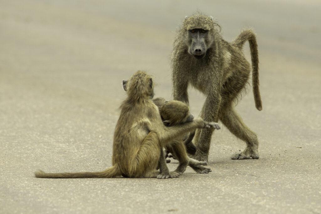 Baboon female aproaching