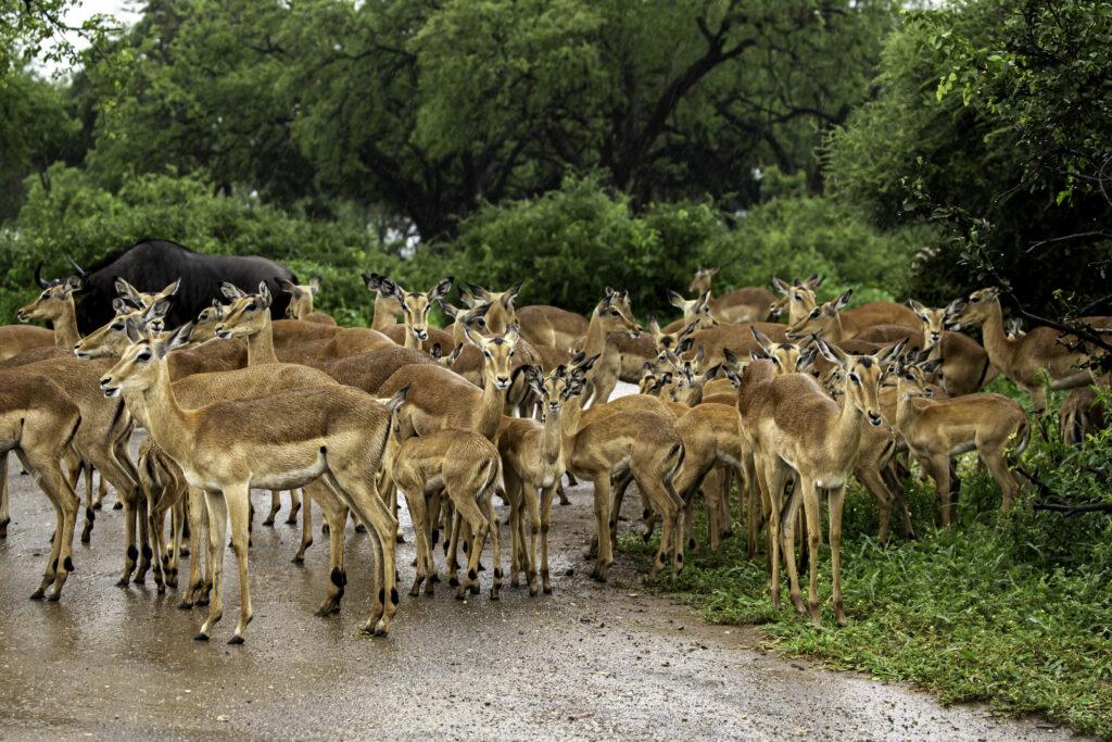 Impala huddled