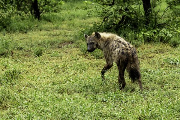 Hyena, Mphongolo loop