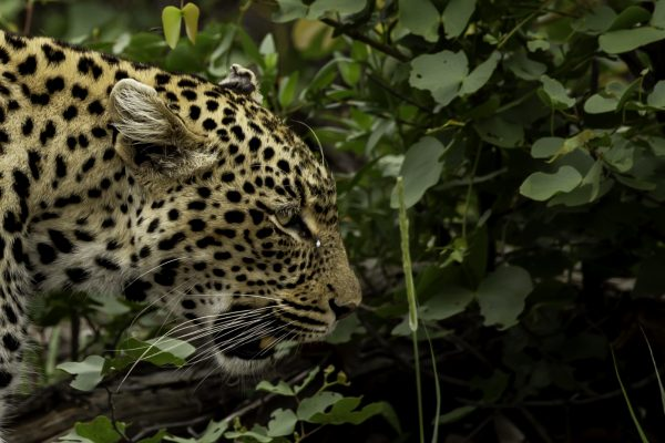 Young Leopard Male