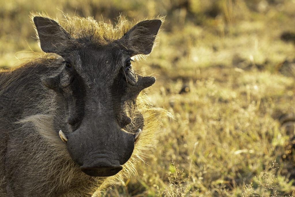 Warthog at Dinokeng