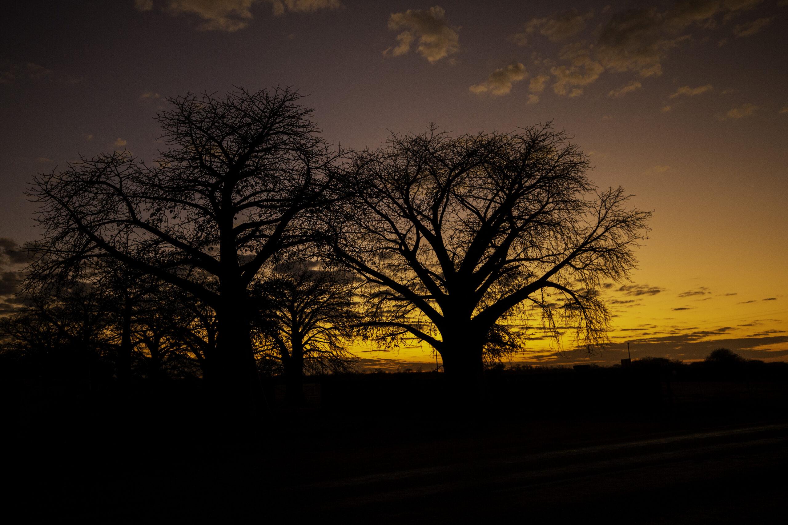 Baobab sunrise