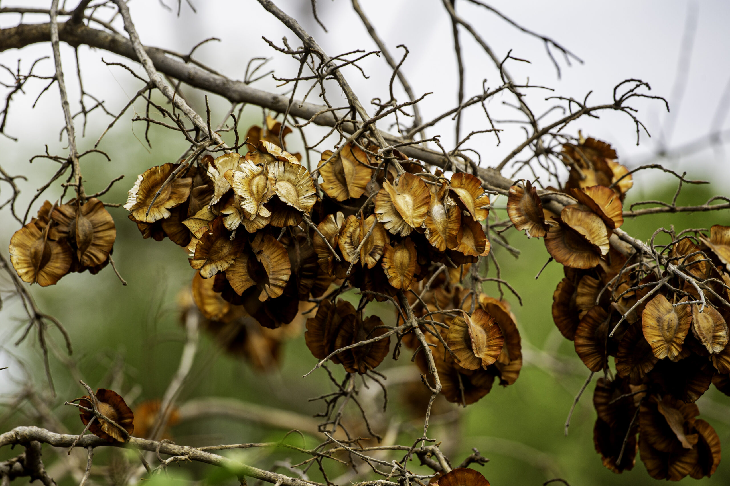 Combretum seeds