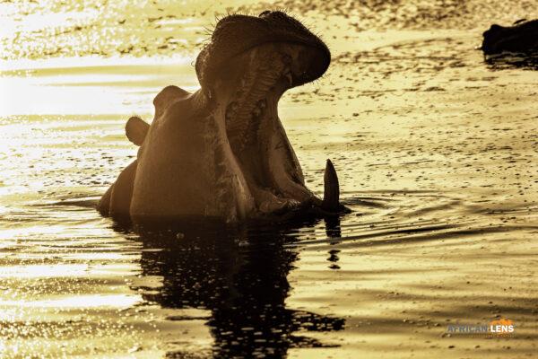 hippo golden hour