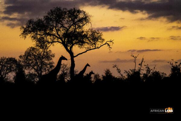 Sunrise with giraffe.