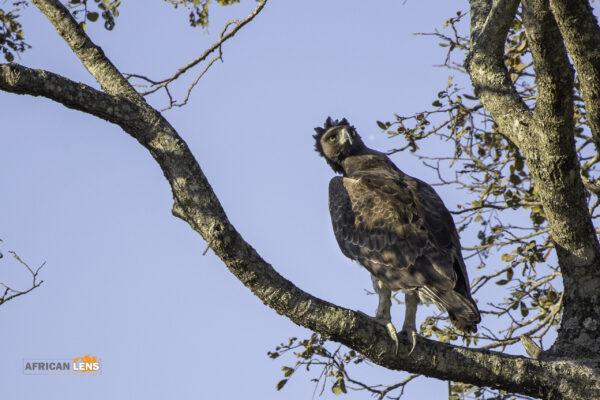 Martial eagle in Kruger