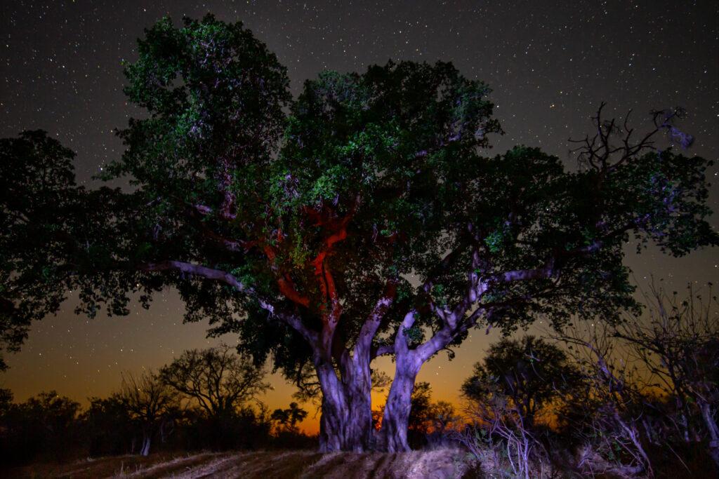 Ficus, Nyarhi