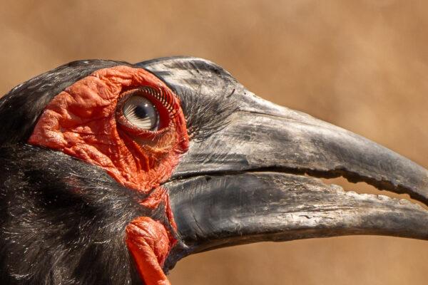 Eye of a Ground hornbill